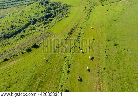 Aerial Drone View Of Cows Grazing In Alpine Meadow