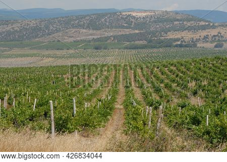 Soft Focus. Background. A Beautiful Summer Landscape Of A Grape Valley With Rows Of Vines Going To T