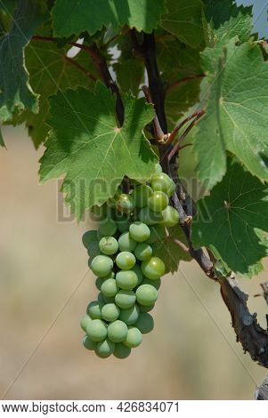 An Image Of Large Bunch Of White Wine Grapes Hang From An Old Vine At Vineyard. Environmentally Frie