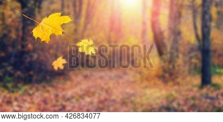 Yellow Maple Leaves Fall To The Ground In The Autumn Forest. Picturesque Autumn Landscape With Falli