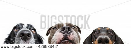 Banner Close-up Three Hungry Hide Dogs Head In A Row. Isolated On White Background.