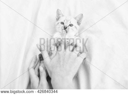 Vet Shop. Small Cute Kitten Relax. Baby Cat. Cute White Kitten. Tender And Lovely. White Kitten Play