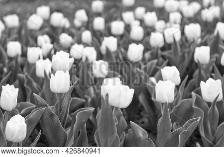 Group Of White Holiday Tulip Flowerbed. Blossoming Tulip Fields. Spring Landscape Park. Country Of T