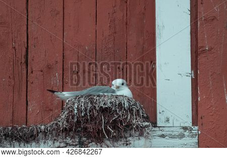 A Seagull Made A Nest On A Traditional Red Wooden House Somewhere In Scandinavia