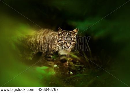A Wild Tabby Cat Sneaks Through Dark Thickets In A Green Summer Forest At Dusk. Nature And Animals.