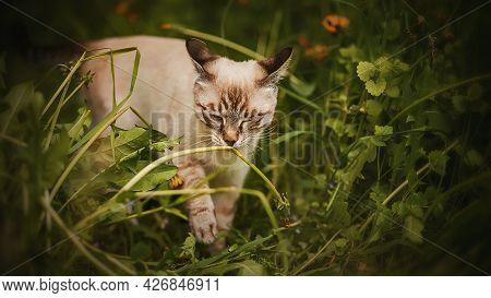 A Cute Striped Thai Kitten Walks Among The Tall Wild Grass And Sniffs A Dandelion Stem On A Summer D