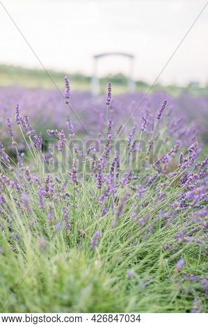 Close Up Picturesque Nature View Of Summer Field With Blooming Lavender Flowers. Blurred Wooden Arch