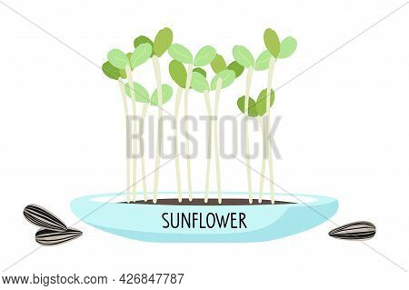Microgreens Sunflower In Home Pot For Plants. Sprouting. Fresh Organic Sprouted Seeds Of Sunflower O