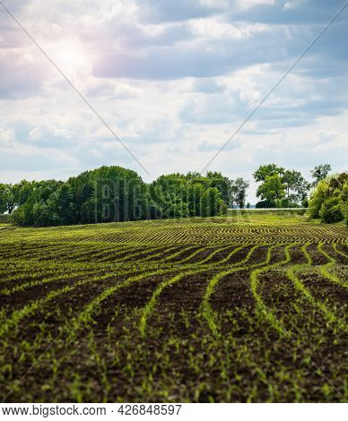 Wide Angle View At Young Corn Fields Spring Time Somewhere In Ukraine