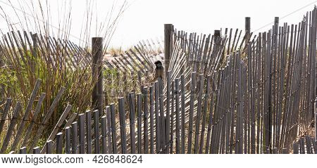 Wooden Picket Sand Fencing Mixed In With Dune Grass On Sand Dunes In Fire Island With A Small Bird.