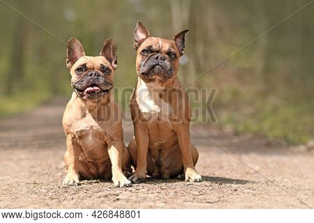 Pair Of Cute Fawn French Bulldog Dogs Sitting In Forest