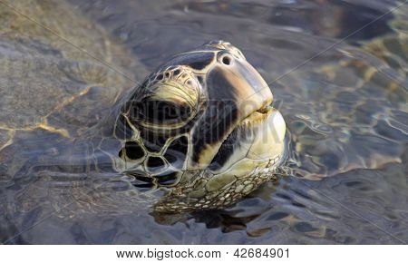 Close-up of a green turtle (Chelonia mydas)