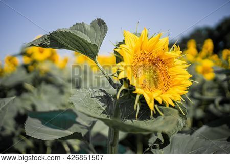 Close Up Of Bright Yellow Bloomng Sunflowers Field In Summer