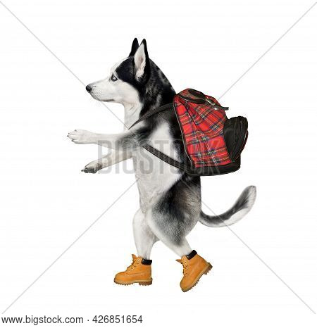 A Dog Husky Tourist In Boots With A Backpack Is Hiking. White Background. Isolated.