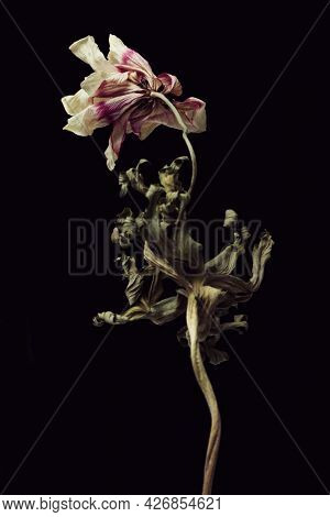 Dried anemone flower on a black background