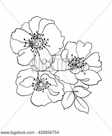 Rosehip Flowers Line Drawing. - Vector Illustration
