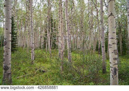 Aspen Grove. A View Inside A Grove Of Deciduous Aspen Trees.