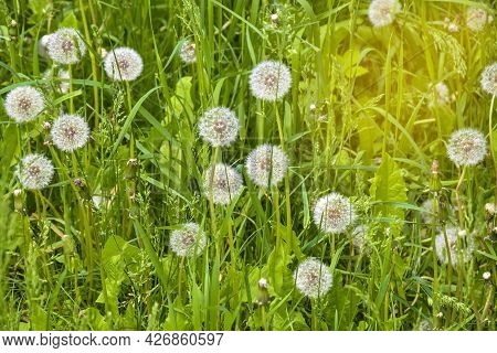 Lawn With Lots Of Fluffy Dandelions In Green Grass. Beautiful Natural Background. Soft Focus.