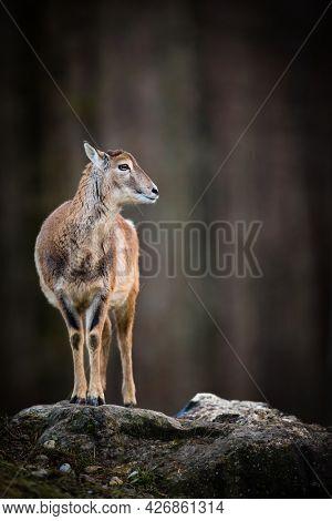 Big Mufflon Female, standing in its habitat -  european forest