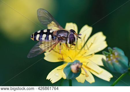 Closeup On An Adult Migrant Hoverfly, Eupeodes Corollae On A Yellow Flower In The Garden