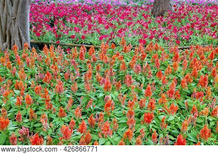 Vibrant Orange Plumed Cockscomb Flower Field In With Hot Pink Petunia Flower Field In Background