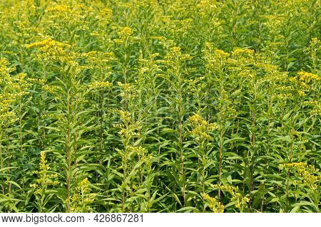 Dense Green Thickets Or Bushes Of Tall Grass Goldenrod With Yellow Flowers Among Thin Linn Stems And