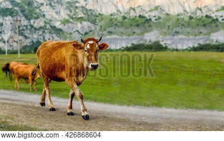 The Animal Is In Focus But The Background Is Not, A Large Beautiful Image Of A Young Female Cow Walk