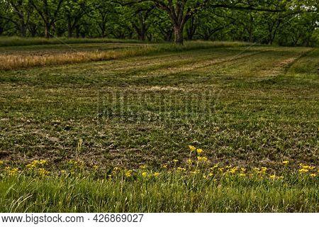 Low View Cut Path Through Pecan Trees On A Plantation In Rural Georgia