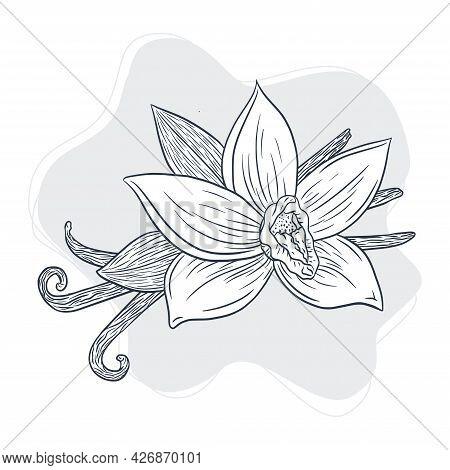 Vanilla Spicy Sticks And Flower Vintage Illustration. Line Art Vanilla Plant Isolated Vector Sketch