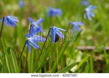 Bee in blue flower