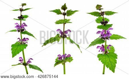 Lamium Purpureum. Spring Nature  Purple Flowers. Greeting Card Banner With Flowers For The  Holiday.