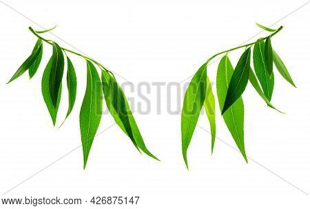 Beautiful Willow Leaves On Twigs Isolated On White Background. Perfect Spring Leaf For Your Design,