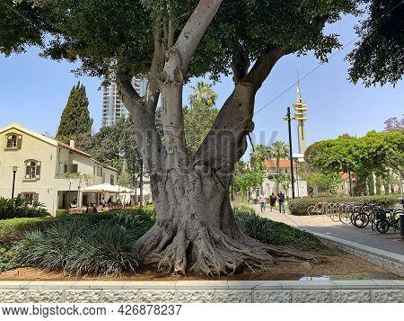 Tel-aviv, Israel - May 03, 2021: Giant Ficus In The Restored Historic Sarona Quarter