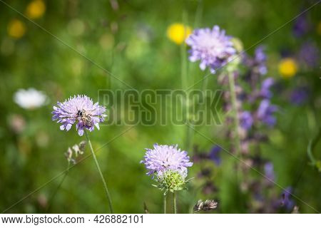 Selective Blur On A Bee Or Wasp Bee Pollinizing The Blossom Of A Purple Cirsium, Also Called Plume T