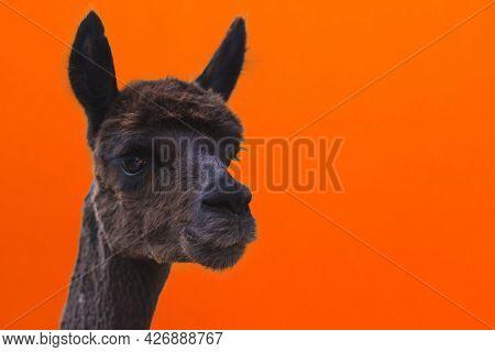 Alpaca Head Closeup Shoot. Alpaca,vicugna Pacos Orange Background Close-up Copy Space.alpaca Is Dark