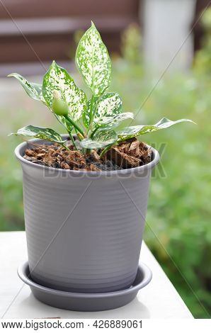 Aglaonema ,chinese Evergreen Or Aglaonema Plant In The Garden