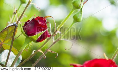 Rose Flower. Red Rose Flower Background. Red Roses On A Bush In The Garden, Close-up. Red Rose Flowe
