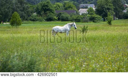 Beautiful White Horse On Green Grass In The Field. Arabian Horse, White Horse Stands In An Agricultu