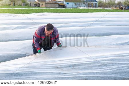 A Man Works With Agrofibre In A Potato Plantation Field. Opening Of Young Potato Bushes. Hardening O