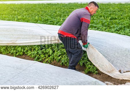 A Man Removes Agrofibre From Potato Plants. Greenhouse Effect For Protection. Agroindustry, Farming.