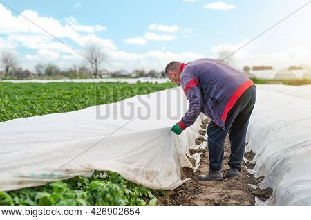 A Farmer Removes Agrofibre From A Potato Plantation. Opening Of Young Potato Bushes As It Warms. Har