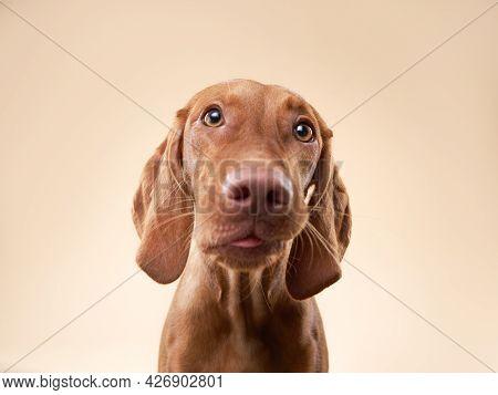 Funny Dog Shows Tongue. Hungarian Vizsla On A Beige Background