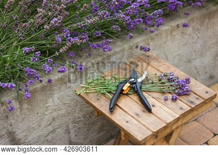 Lavender Seasonal Pruning, Bunch Of Cut Lavender And Pruning Shears Against A Backdrop Of Flowering