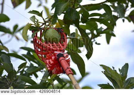 The Harvesting Bunch Of Avocados Ripening On An Avocado Tree Branch In Garden. Mexicola Avocado On T