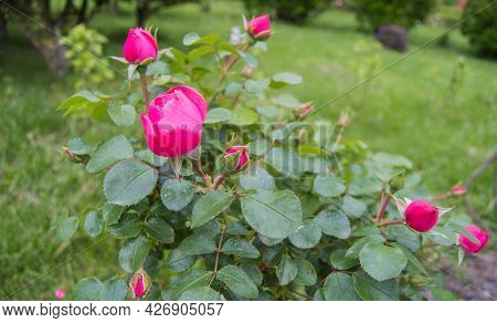 A Bush With Delicate Pink Roses In The Open, Selective Focus