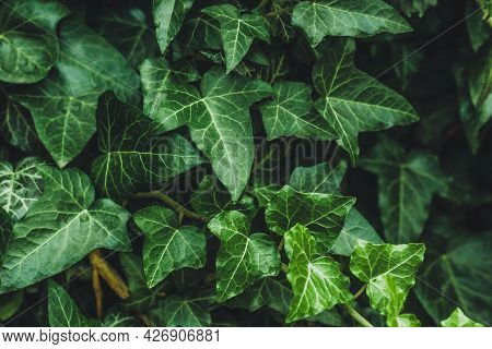 Hedera Helix, Common Ivy. Evergreen Vine, Climbing Flowering Wild Plant Of The Ivy Genus In The Fami