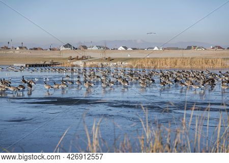 Flocks Of Geese On A Frozen Water Of Lake Near The Residential Area