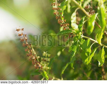 Thai Holy Basil Ocimum Tenuiflorum Sanctum Or Tulsi Kaphrao Holy Basil Is An Erect, Many Branched Su