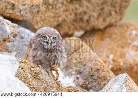 Little Owl Athena Noctua Chick Standing On A Rock, With Prey In The Paw.