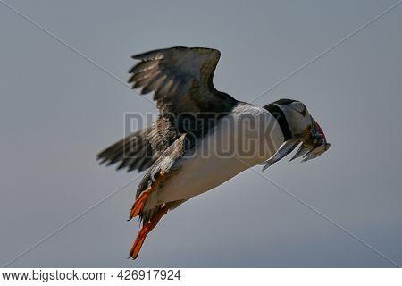 Atlantic Puffin (fratercula Arctica) Flying Along The Coast Of Skomer Island With A Beak Full Of Fre